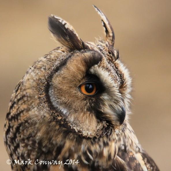 Long-eared Owl, Surrey, Bird of Prey, Owls, Nature, Wildlife Photography, Mark Conway, Life Spirit