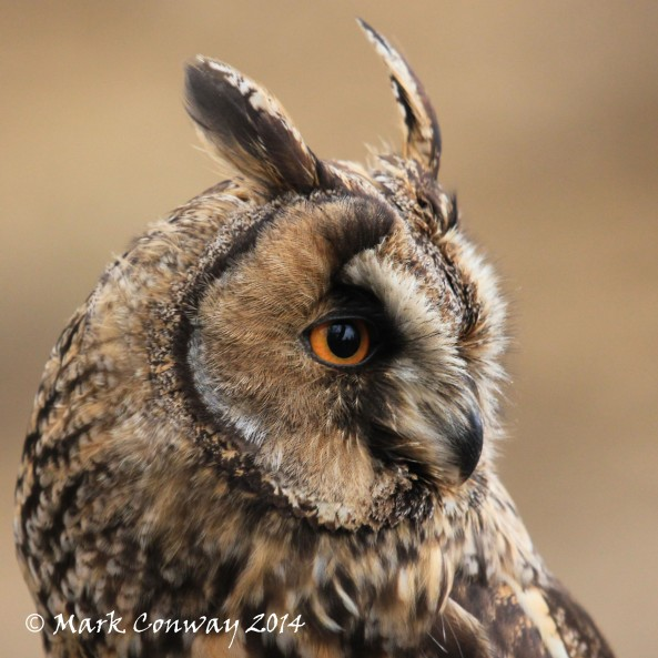 Long-eared Owl, Surrey, Bird of Prey, Owls, Nature, Wildlife Photography, Mark Conway, Life Spirit