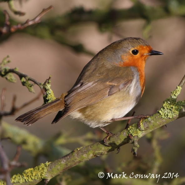 Robin, Wildlife, Nature Photography, East Yorkshire, Life Spirit, Mark Conway