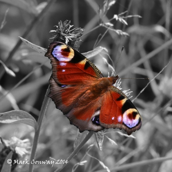 Peacock, Butterfly, East Riding, Nature, Insects, Wildlife Photography, Mark Conway, Life Spirit