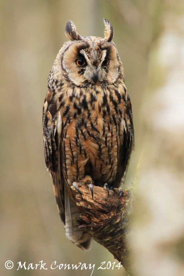 Long-eared Owl, Bird of Prey, Owls, Nature, Wildlife Photography, mark Conway, Life Spirit