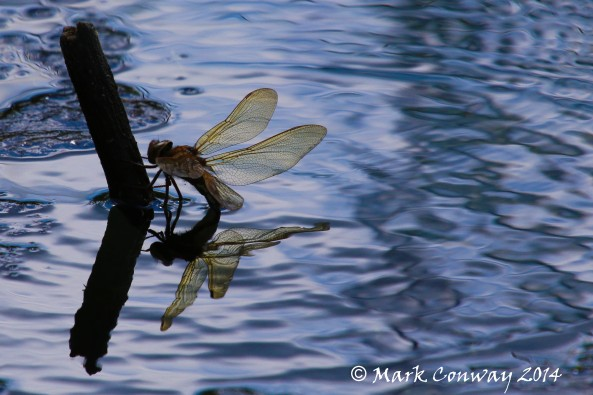 Dragonfly, Nature, Insects, Wildlife Photography, Life Spirit, Mark Conway