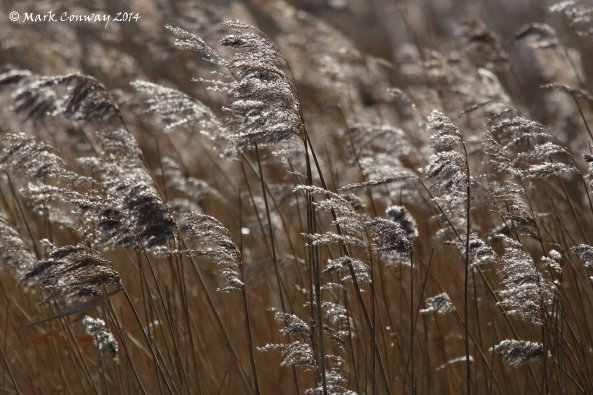 Reeds, East Yorkshire, Life Spirit, Nature, Mark Conway