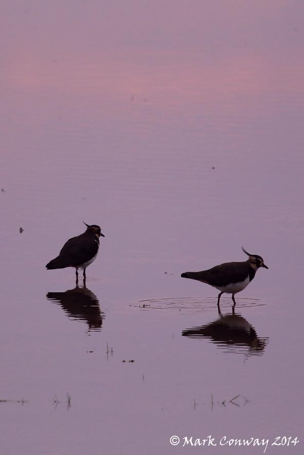 Lapwing, Birds, Nature, Wildlife, Photography, Mark Conway, Life Spirit