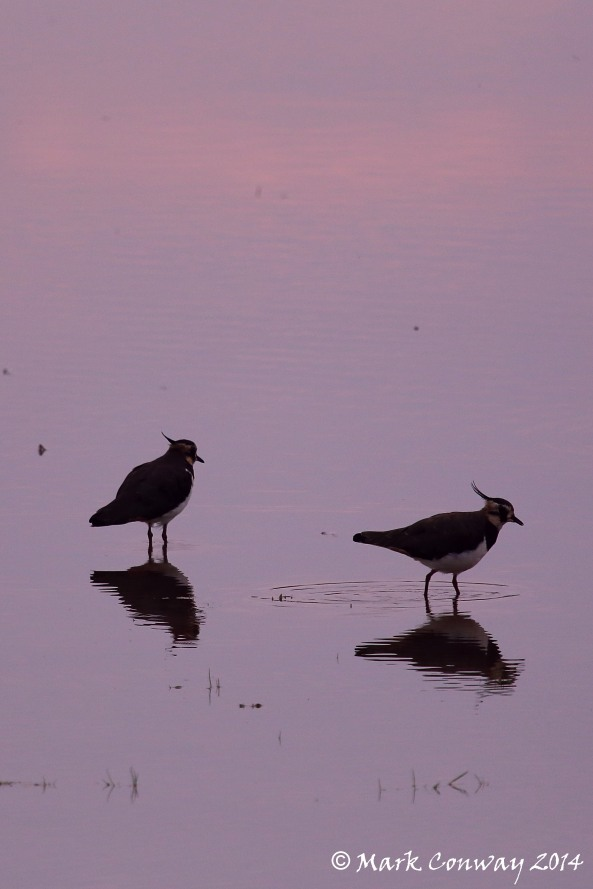 Lapwing, Birds, Nature, Wildlife, Photography, Mark Conway, Life Spirit