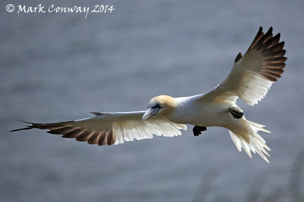 Gannet, Bempton Cliffs, East Riding, Birds, Nature, Wildlife Photography, Mark Conway, Life Spirit
