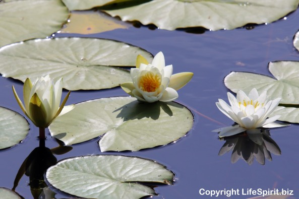 Lily Pad, East Yorkshire, Flowers, Mark Conway, Life Spirit, Nature, Photography