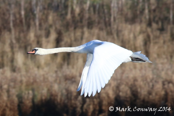 Mute Swan, Flight, Birds, Nature, Wildlife Photography, Life Spirit, East Yorkshire, Mark Conway