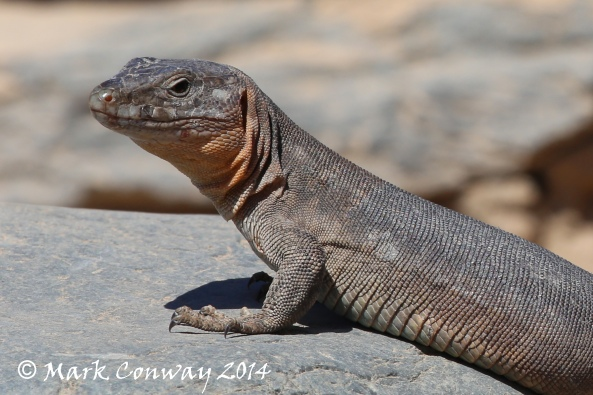 Giant Lizard, Gran Canaria, Reptile, Nature, Wildlife Photography, Mark Conway, Life Spirit