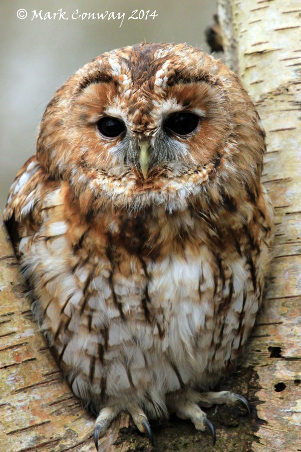 Tawny Owl, Surrey, Bird of Prey, Nature, Wildlife Photography, Life Spirit, Mark Conway