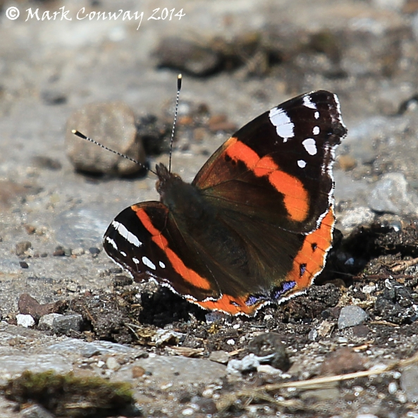 Red Admiral, East Yorkshire, Photography, Nature, Wildlife, Butterflies, Mark Conway, Life Spirit