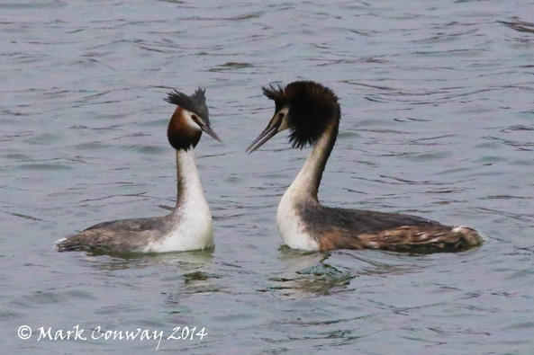 Great Crested Grebe, Birds, Wildlife, East Yorkshire, Life Spirit, Mark Conway