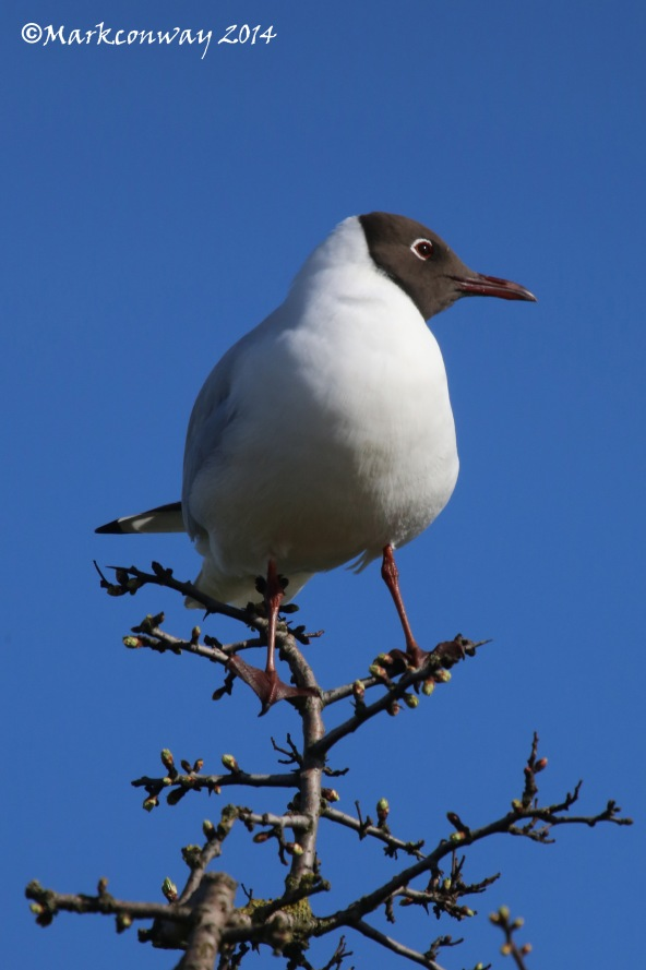 Black-headed Gull, East Yorkshire, Nature, Wildlife Photography, Life Spirit, Mark Conway, Birds