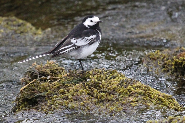 Pied Wagtail, Malham, Yorkshire Dales, Birds, Photography, nature, Wildlife, Life Spirit, Mark Conway