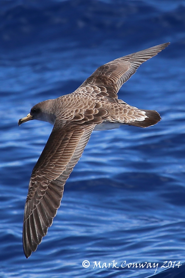 Cory's Shearwater, Gran Canaria, Spain, Birds, Wildlife, Nature, Photography, Life Spirit, Mark Conway