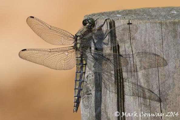 Dragonfly, Insects, Nature, Wildlife Photography, Life Spirit, Mark Conway
