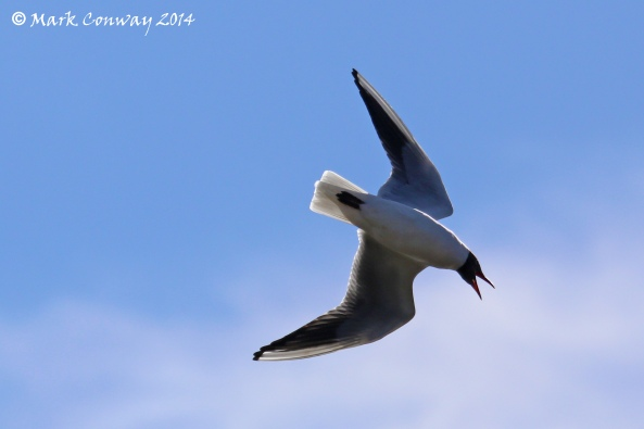 Birds, Black-headed Gull, Nature, Wildlife, East Yorkshire, Mark Conway, Life Spirit