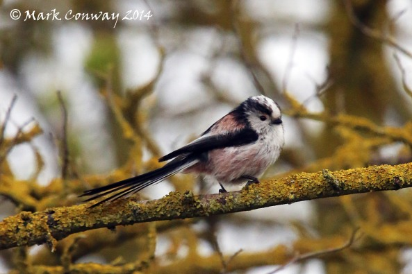 Long-tailed Tit, East Yorkshire, Nature, Wildlife, Photography, Mark Conway, Life Spirit