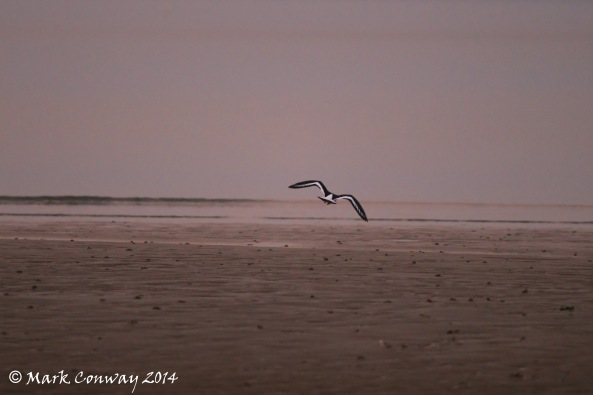 Abersoch, Llyn Peninsula, Wales, Nature, Oystercatcher, Wildlife, Birds, Photography, Mark Conway, Life Spirit