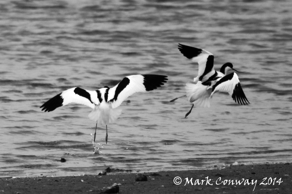 Avocet, RSPB, Nature, Wildlife, Photography, Mark Conway, Life Spirit, Birds