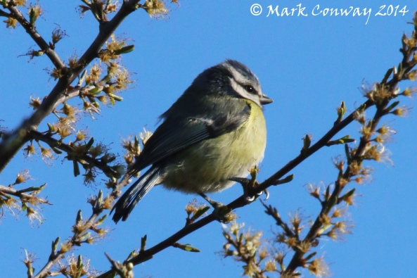 Blue Tit, Nature, Wildlife, Photography, Birds, Life Spirit, Mark Conway