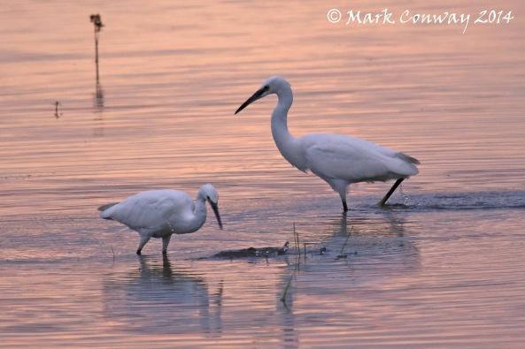 Egret, Bird, Nature, Wildlife, Photography, Mark Conway, Life Spirit