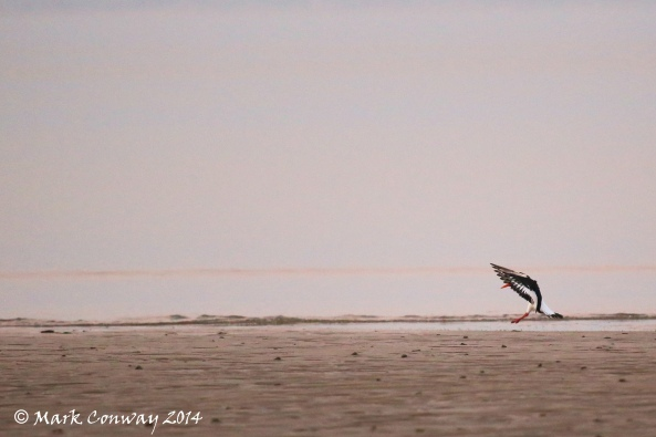 Oystercatcher, Nature, Wildlife, Photography, Abersoch, Llyn Peninsula, Wales, Life Spirit, Mark Conway
