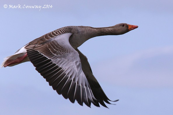 Greylag Goose, Birds, Nature, Wildlife, Photography, Mark Conway, Life Spirit, East Yorkshire