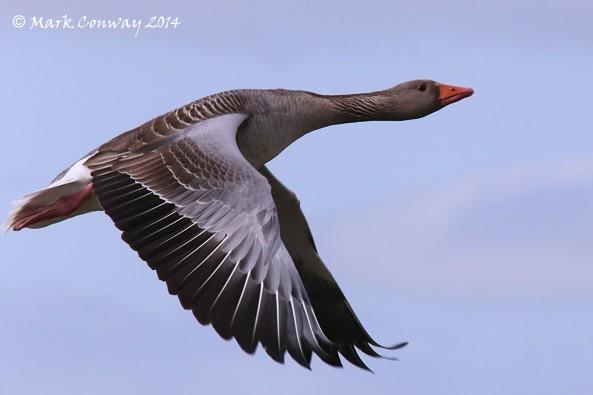 Greylag Goose, Birds, Nature, Wildlife, Photography, Mark Conway, Life Spirit, East Yorkshire
