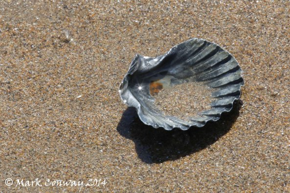 Scallop Shell, Nature, Wales, Wildlife, Mark Conway, Life Spirit, Photography
