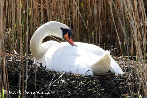 Swan, Birds, Nature, Wildlife, Photography, Life Spirit, Mark Conway