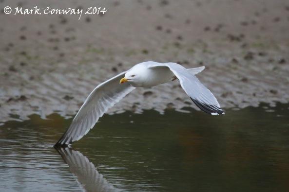 Herring Gull, Abersoch, Llyn Peninsula, Wales, Nature, Wildlife, Photography, Mark Conway, Life Spirit