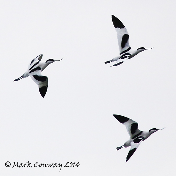 Avocet, Birds, Nature, Wildlife, Nature, Photography, Mark Conway, Life Spirit
