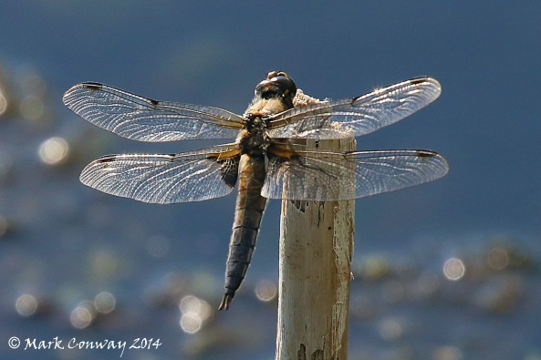 Chaser, Dragonfly, Nature, Wildlife, Photography, Mark Conway, Life Spirit