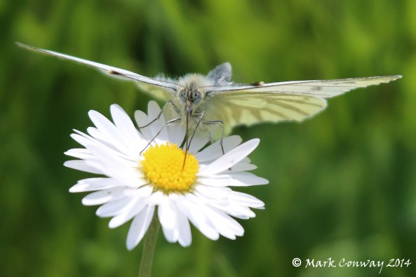Small White Butterfly, East Yorkshire, Nature, Wildlife, Insects, Mark Conway, Photography, Life Spirit