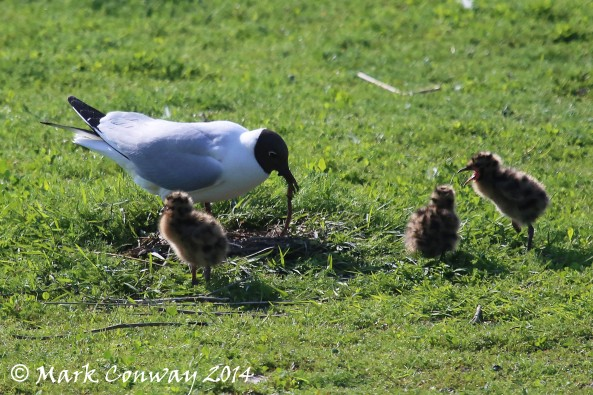 Black-headed Gull, Chicks, Nature, Wildlife, Life Spirit, East Yorkshire, Mark Conway, Photography