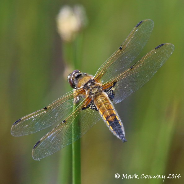 Four-spotted Chaser, East Yorkshire, Dragonfly, Wildlife, Photography, Mark Conway, Life Spirit