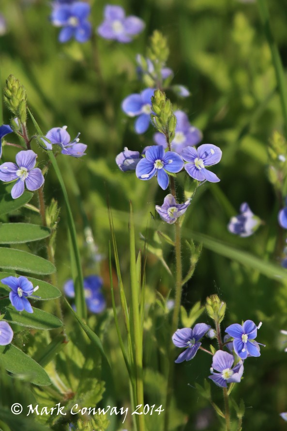 Speedwell, Nature, Flowers, East Yorkshire, Photography, Mark Conway, Life Spirit