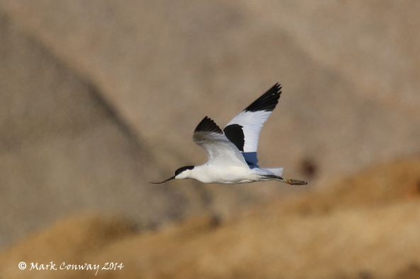 Avocet, Birds, Nature, Wildlife, Photography, East Yorkshire, Life Spirit, Mark Conway