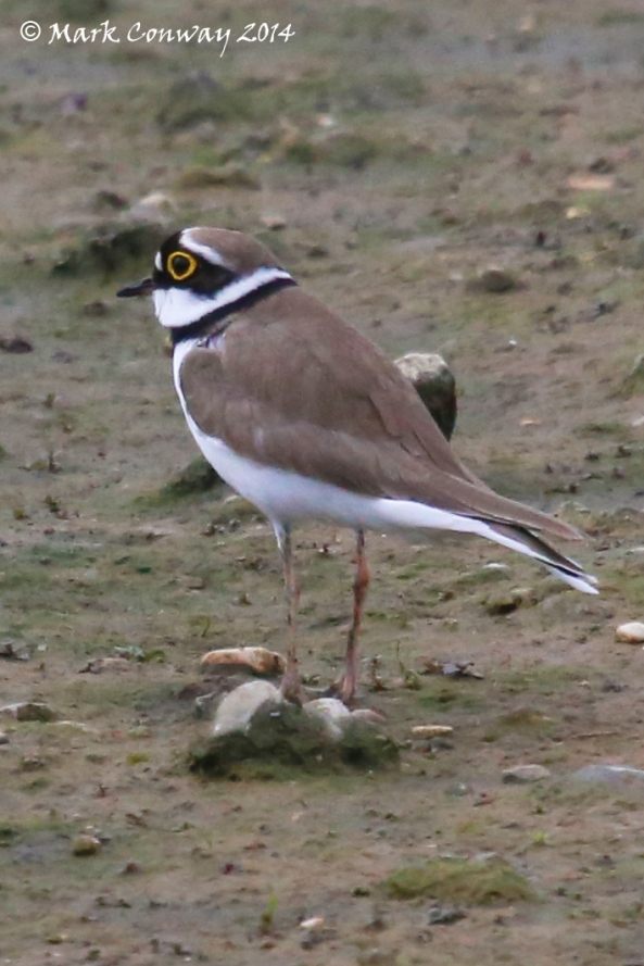 Ringed Plover, Birds, Nature, Wildlife, Photography, East Yorkshire, Mark Conway, Life Spirit