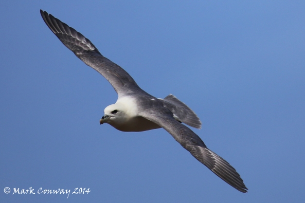 Fulmar, Whitby, North Yorkshire, Birds, Nature, Wildlife, Photography, Life Spirit, Mark Conway