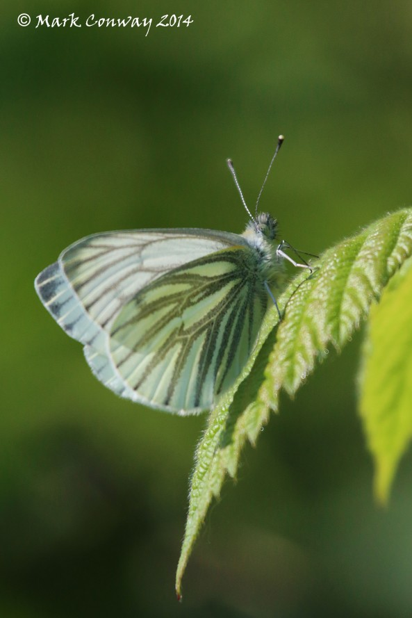Green-Veined White, Butterfly, Insects, Nature, Wildlife, Photography, Life Spirit, Mark Conway