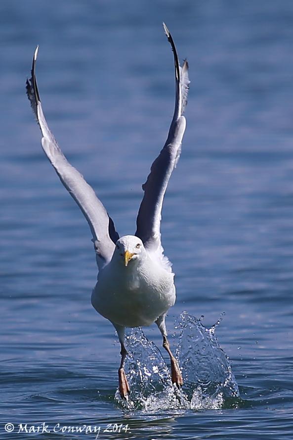 Herring Gull, Birds, Nature, Wildlife, Photography, Mark Conway, Life Spirit