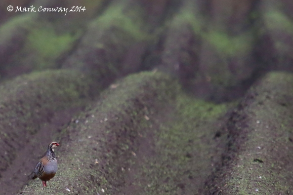 Red-legged Partridge, East Yorkshire, Birds, Nature, Wildlife, Photography, Mark Conway, Life Spirit