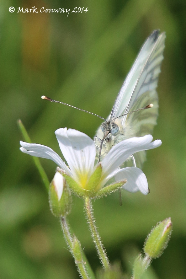 Small White Buttefly, Nature, Life Spirit, Photography, Wildlife, Mark Conway, East Yorkshire
