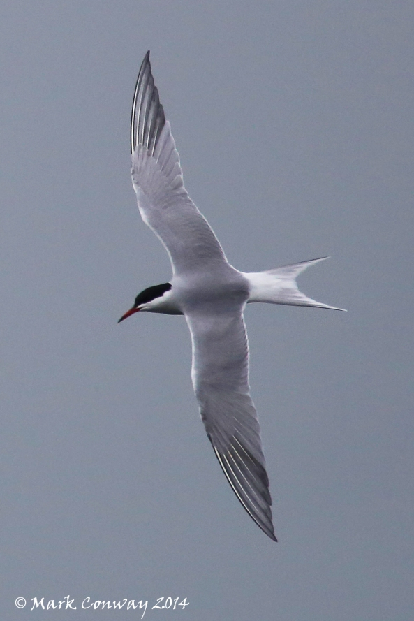 Common Tern, Birds, Nature, Wildlife, Photography, Mark Conway, Life Spirit