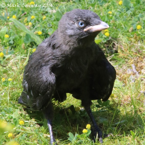 Jackdaw, Juvenile, Nature, Wildlife, Photography, Mark Conway, Life Spirit