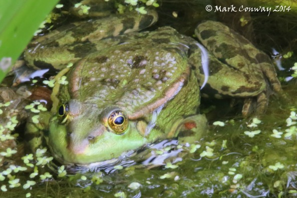 Marsh Frog, Nature, Wildlife, Photography, Mark Conway, Life Spirit