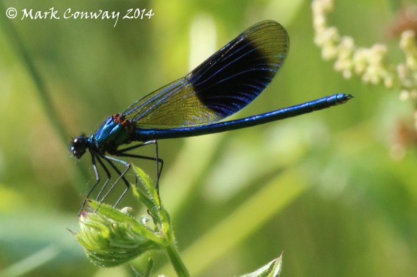Banded Demoiselle, Damselfly, Dragonfly, Wildlife, Insects Nature, Photography, Mark Conway, Life Spirit
