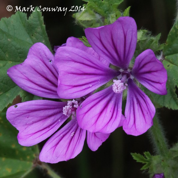 Common Mallow, Yorkshire, Flowers, Nature, Photography, Mark Conway, Life Spirit